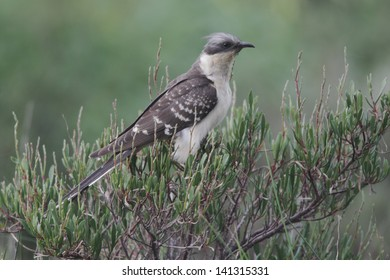 Great-spotted cuckoo, Clamator glandarius, single bird on a bush, Portugal, March 2010