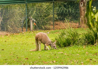 the greay kangeroo is native to the east coast of Australia