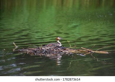 Grebe sitting on a nest