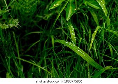 Gree crisp grass with due on them. Closeup