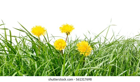 Gree grass isolated with dandelion flowers on white