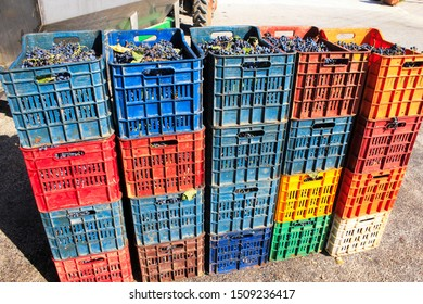 Greece, Attica, September 12 2019 - Grapes harvested in boxes.