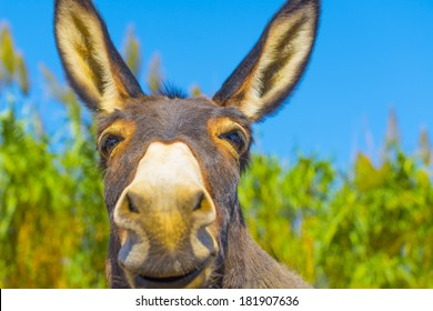Greece happy donkey posing closeup view with face almost in camera in greek island