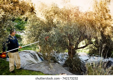 Greece, Peloponnese, Messinia, January 14 2016, olive harvest