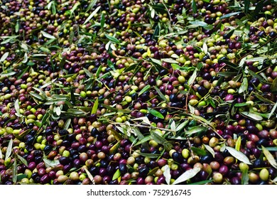 Greece, Peloponnese, Messinia, Kalamata, January 1st 2014, olive oil mill, freshly-picked olives are loaded directly into a truck and driven to the mill.