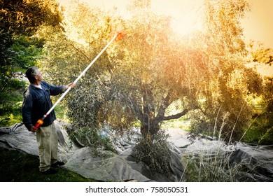 Greece, Peloponnese, Messinia, Kalamata, January 14 2016, olive harvest
