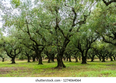 Greece, Zakynthos, Impressive ancient olive tree forest for olive oil production on zante island