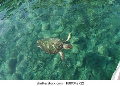 Greece, Zakynthos island, caretta caretta turtle
