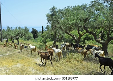 Greece, Zakynthos Island, herd of goats