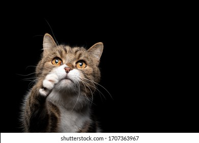 greedy tabby white british shorthair cat looking up raising paw on black background with copy space