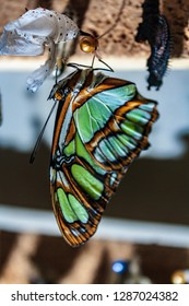 greeen butterfly hanging up side down