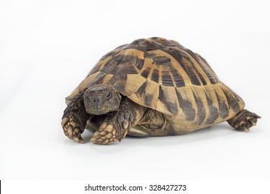 greek land tortoise, Testudo Hermanni