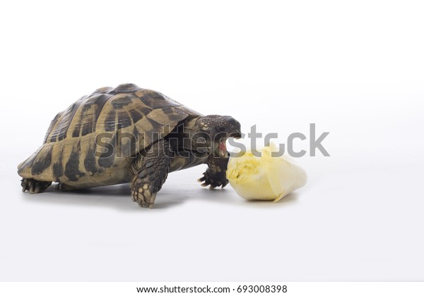 Greek land tortoise, Testudo Hermanni, eating chicory, white studio background