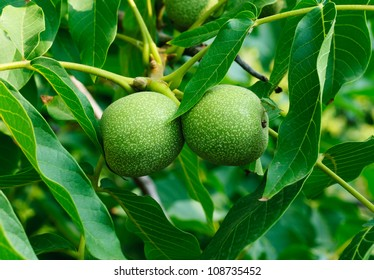 Greek nuts still have not ripened  on the tree