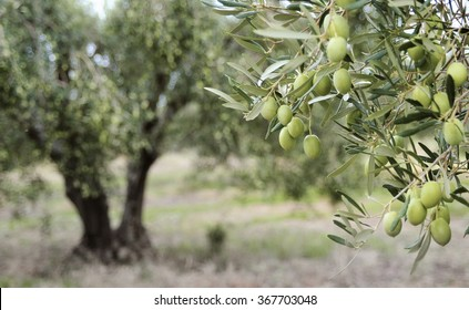Greek olive grove detail