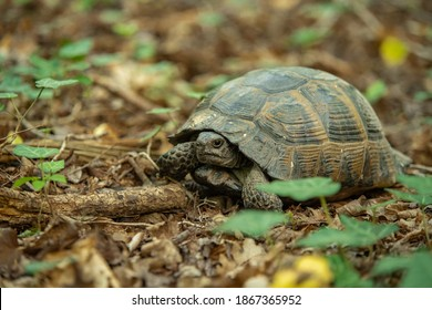 The Greek tortoise (Testudo graeca), also known commonly as the spur-thighed tortoise