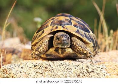 greek turtoise, full length animal in natural environment ( Testudo graeca )
