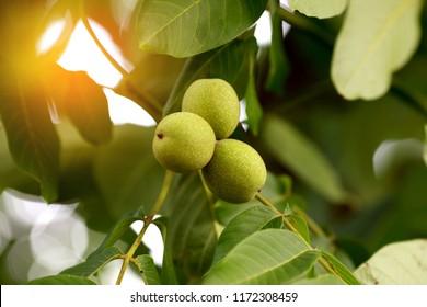 Greek walnut fresh on a tree
