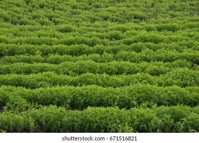 Green abstract image of a rows of lentils in a farmer's field