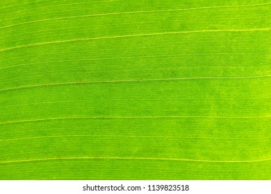 Green abstract Surface of a Leaf