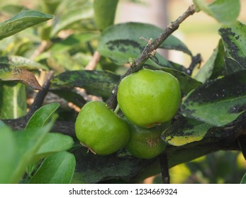 Green acerola cherry and fungus in leaves, Leaf desease and unripe acerola cherry fruit