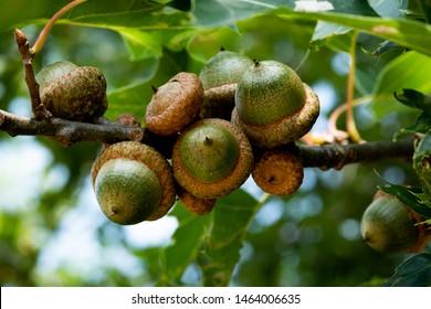 green acorn bunch in oak tree