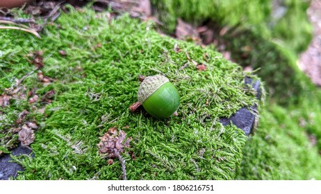Green Acorn or Oaknut on Moss