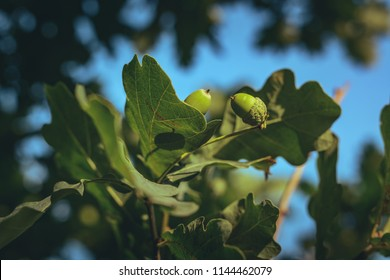 Green acorns hanging in an oak tree covered in green oak leaves and branches. Summer season in countryside. Fresh air, clean environment, sustainable lifestyle.