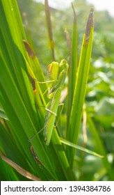 Green Adult female of Mantis religiosa at Guadiana river bak vegetation. Also known as praying mantis