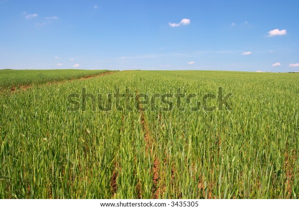 Green agricultural field with clear blue sky
