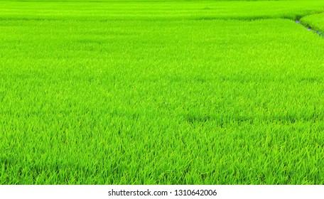 Green agricultural land Rice fields plantation, farm background