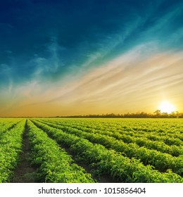 Green agriculture field in sunset. Tomatoes field