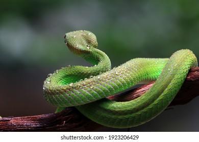 Green albolaris snake on branch from back view, closeup snake, green viper snake closeup