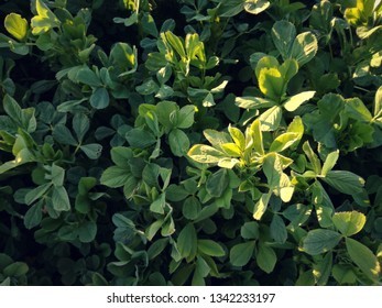 Green alfalfa. Field of fresh grass growing. Orchard of irrigation. Agricultural area of the center of the Iberian Peninsula in the Extreme Southwest of Europe, Spain. Hay.