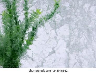 Green algae in ice block
