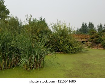green algae plants covering stagnant water in a lake with trees and wooden bridge