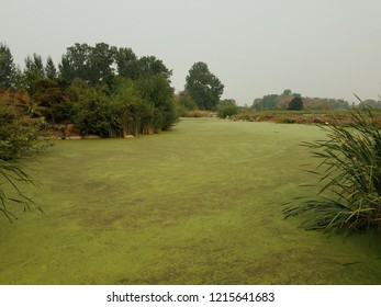 green algae plants covering stagnant water in a lake with trees