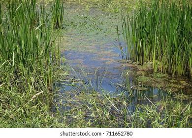 Green algae in a pond. Transcarpathia