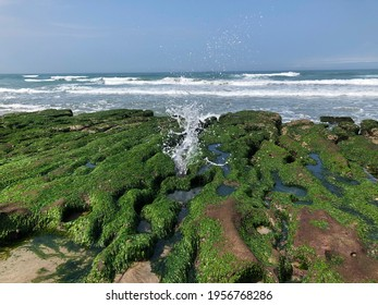 Green Algae Reef at Laomei, Taiwan's North Coast, greenstone trough,Every year between February and May