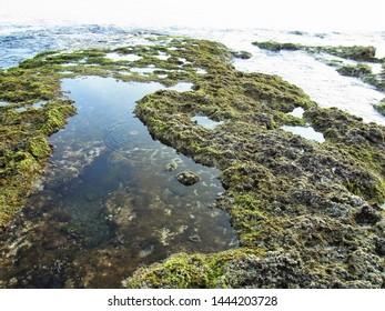 Green Algae & Sargassum on Stones by Seashore