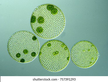 Green algae in the water drop