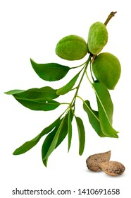 Green almond branch and fruits or unshelled nuts isolated on white background. Leaves and young fruits of almond tree.