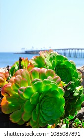 green aloe succulent plant by the beach