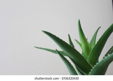 Green aloe vera plant and background