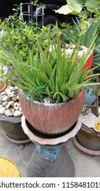 green alovera plant