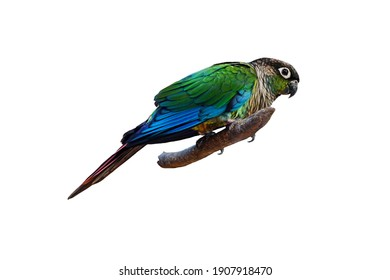 Green amazon parrot perched on a branch isolated on white background.