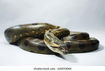 Green Anaconda coiled on floor