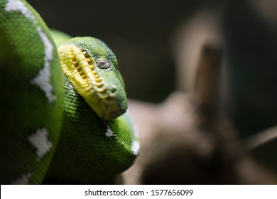 Green anaconda or common anaconda portrait, Eunectes murinus