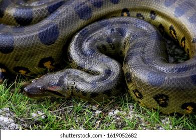 Green Anaconda, eunectes murinus, Los Lianos in Venezuela