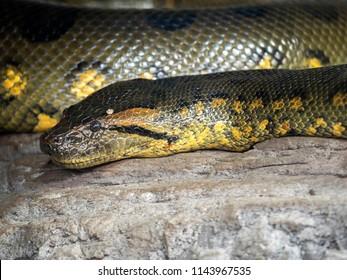 Green anaconda, Eunectes murinus, is the most powerful snake